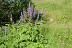 Nordisk Stormhat (Aconitum lycoctonum ssp. septentrionale)